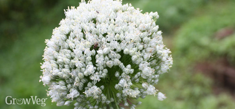 Overwintered leeks produce flowers that are loved by beneficial insects