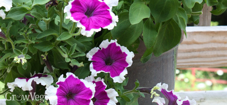 https://res.cloudinary.com/growinginteractive/image/upload/q_80/v1538061369/growblog/petunias-in-container-2x.jpg