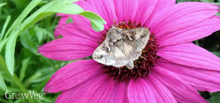 Moth on a pink flower