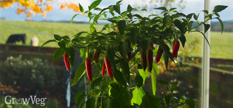 https://res.cloudinary.com/growinginteractive/image/upload/q_80/v1539867312/growblog/chilli_on_windowsill_in_autumn.jpg