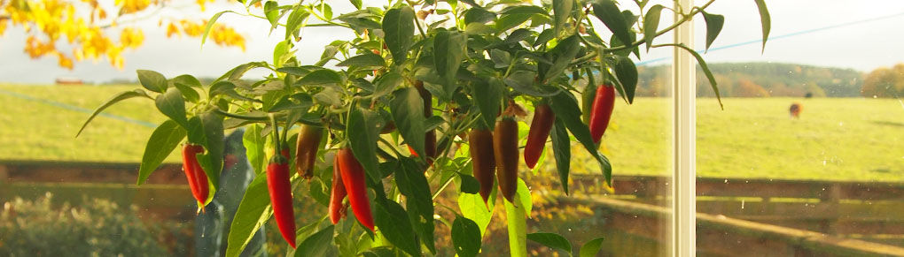 Improve Your Harvest by Overwintering Peppers