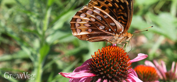https://res.cloudinary.com/growinginteractive/image/upload/q_80/v1540502100/fritillary-butterfly-on-echinacea-2x_s64024.jpg