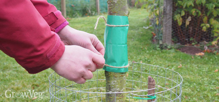 Fixing a glue band to a plum tree