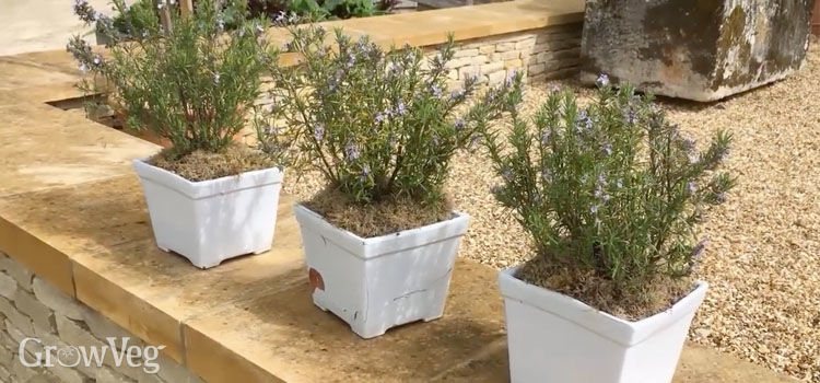 Herbs in pots provide a feature