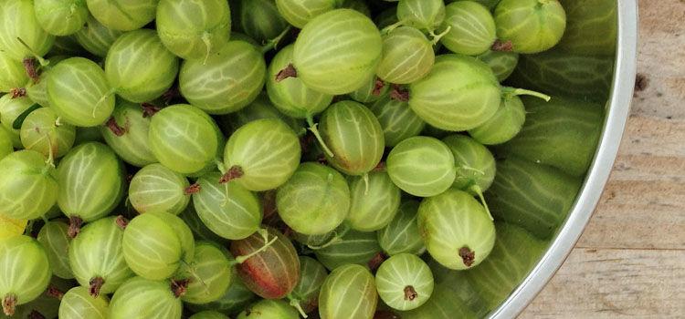 Gooseberry harvest