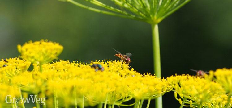 """""""Hoverflies"""