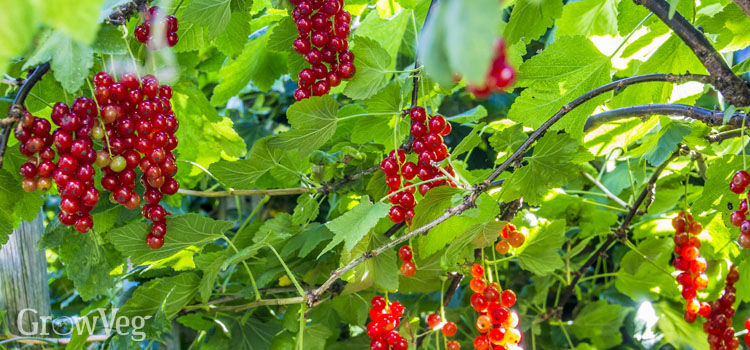 https://res.cloudinary.com/growinginteractive/image/upload/q_80/v1544739226/growblog/redcurrants-2-2x.jpg