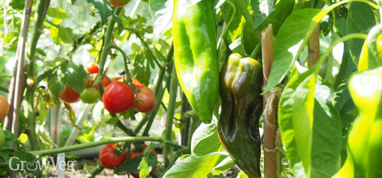 """Tomatoes"