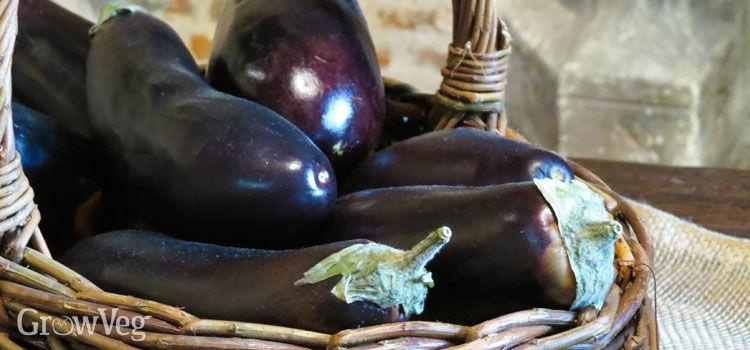"""""""Eggplant"""