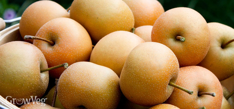 Ripe Asian pears, also called Nashi pears or apple-pears