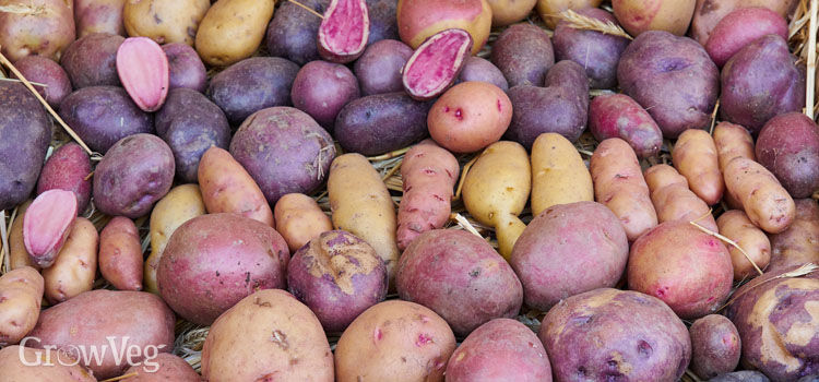 https://res.cloudinary.com/growinginteractive/image/upload/q_80/v1551998383/growblog/potato-varieties-2x.jpg