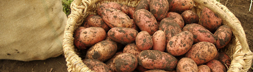 Growing Potatoes from Planting to Harvest
