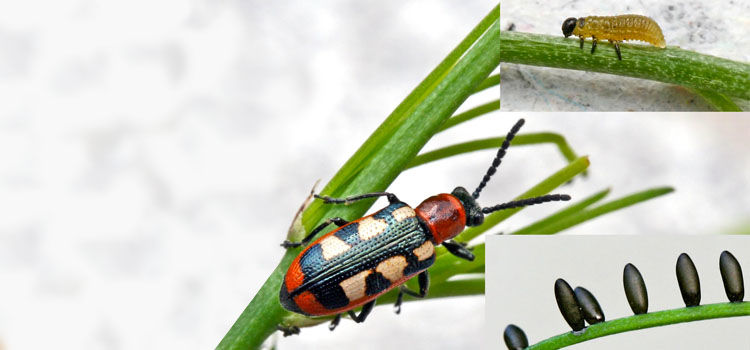 Asparagus Beetle Control: Asparagus Beetle Guide