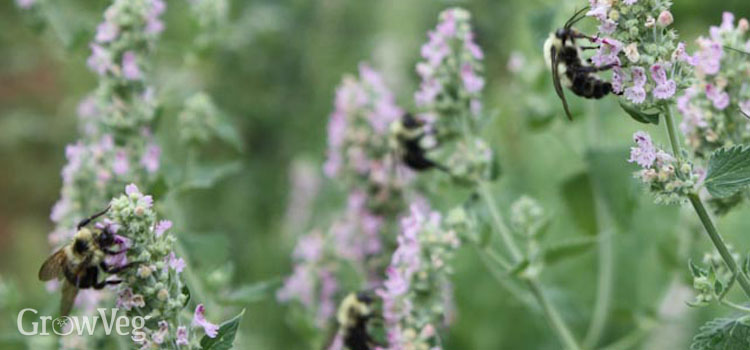 Best perennial flowers for bees beetles and butterflies bees love catmint flowers mightylinksfo