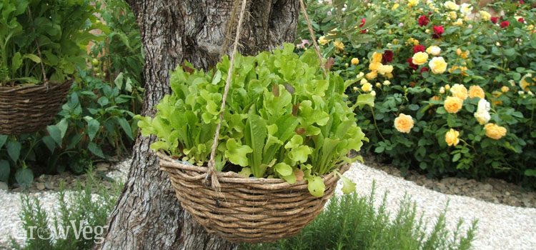 Salad leaves growing in a hanging basket
