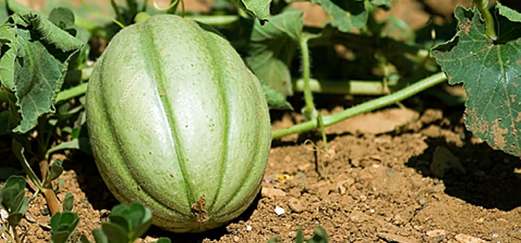 https://res.cloudinary.com/growinginteractive/image/upload/v1447155204/Plants/dreamstime-melon-2x.jpg