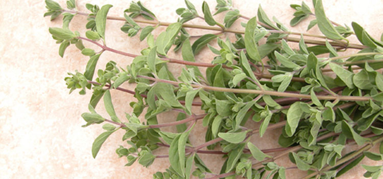 How to successfully take cuttings of herbs for Plante zaatar
