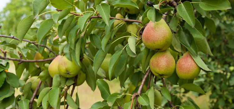 https://res.cloudinary.com/growinginteractive/image/upload/v1447445110/Plants/dreamstime-pear-large-1x.jpg