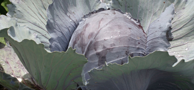 Cabbage (Medium Maturity Red)