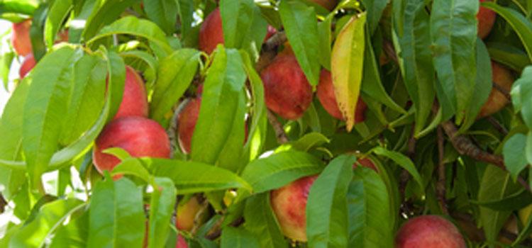 Nectarine (Large)