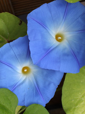 Convolvulus, also known as Dwarf Morning Glory