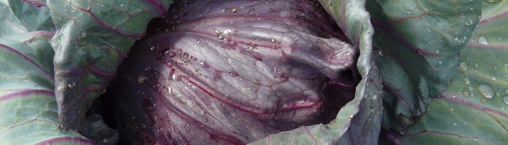 The Best Heirloom Cabbage Varieties
