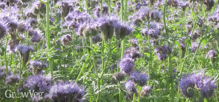 Phacelia is very good at suppressing weeds and will improve your soil's structure