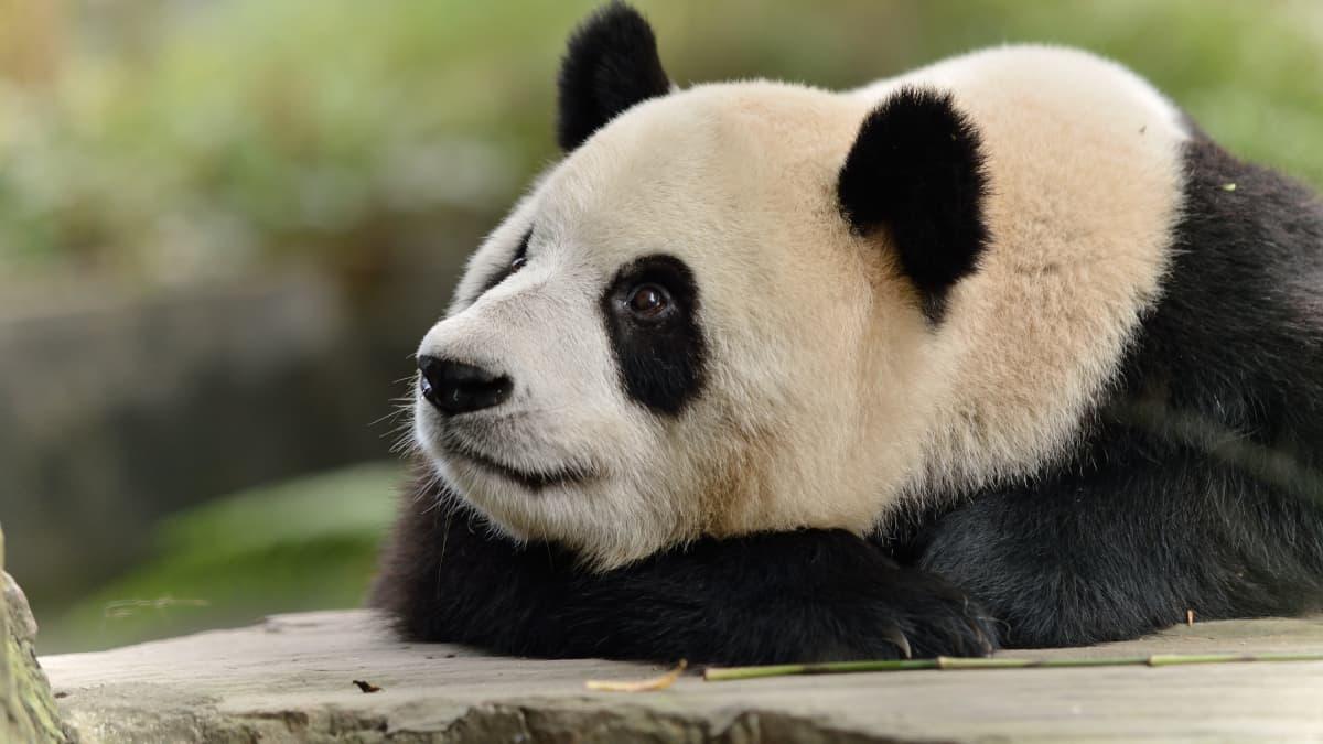 パンダのシャンシャンを中国に返還しなければならない本当の ...