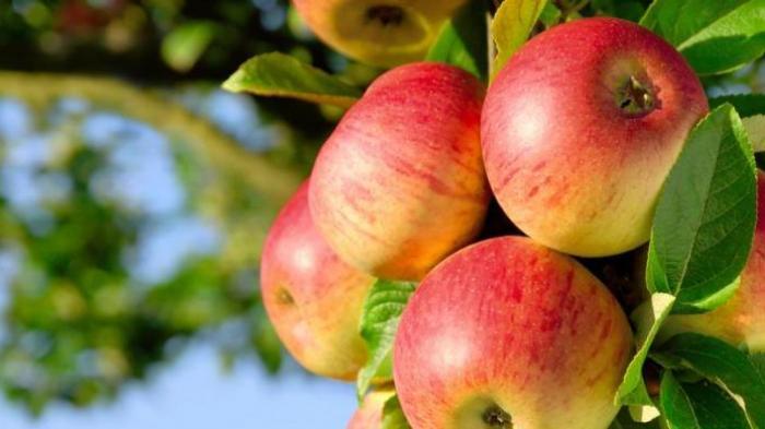 apel_lba6i7 Makanan Yang Mempercepat Metabolisme Dalam Tubuh Food Health Tips Kesehatan