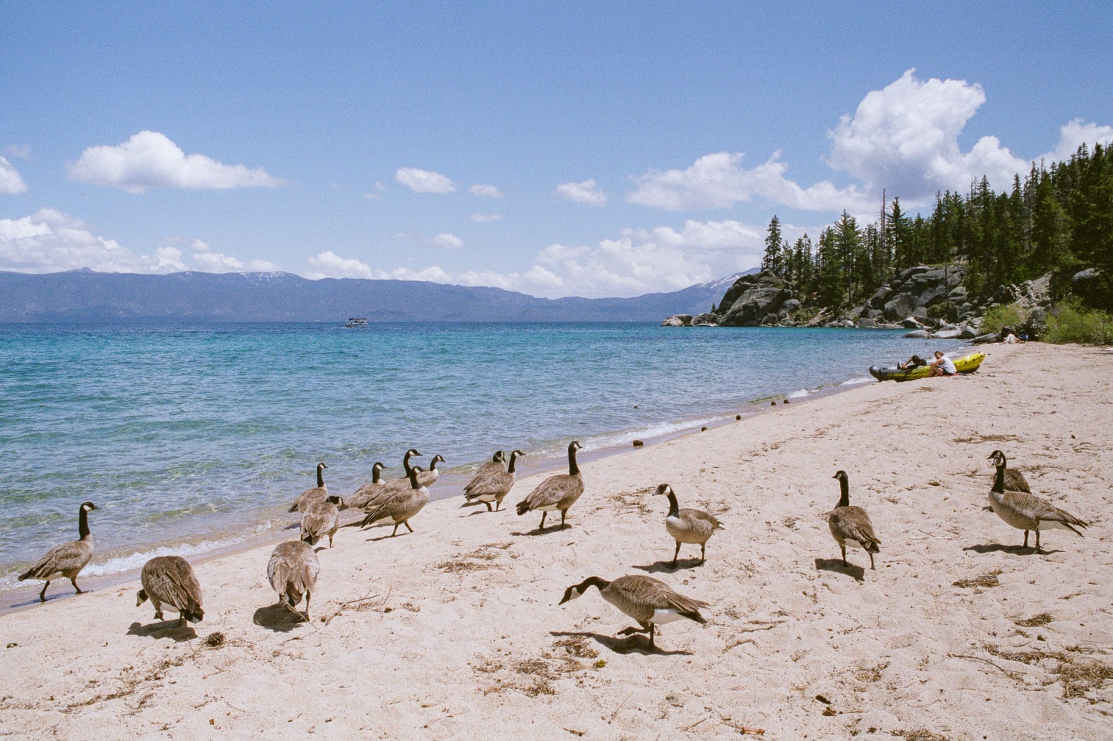 Canada goose on the beach of Lake Tahoe. Summer, 2019