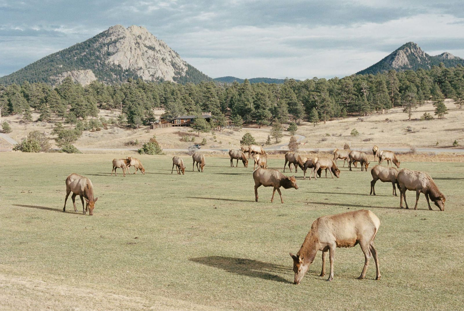 A herd of elks at Estes Park, just outside of Rocky Mountain National Park. Thanksgiving, 2017.