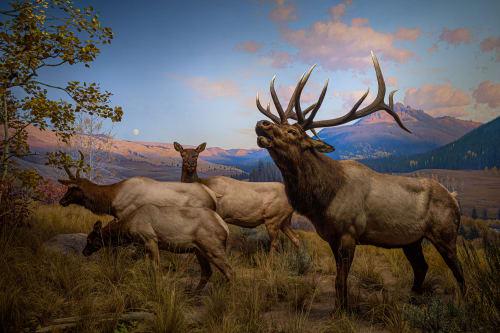 Diorama of Wapiti (Elk)