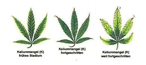 Kaliumangel Cannabis