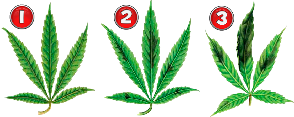 Phosphormangel Cannabis