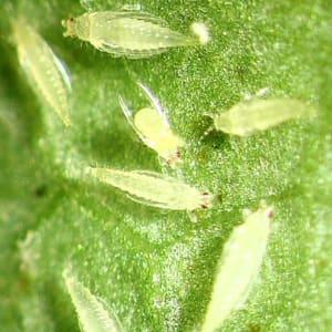 Thripse cannabispflanze