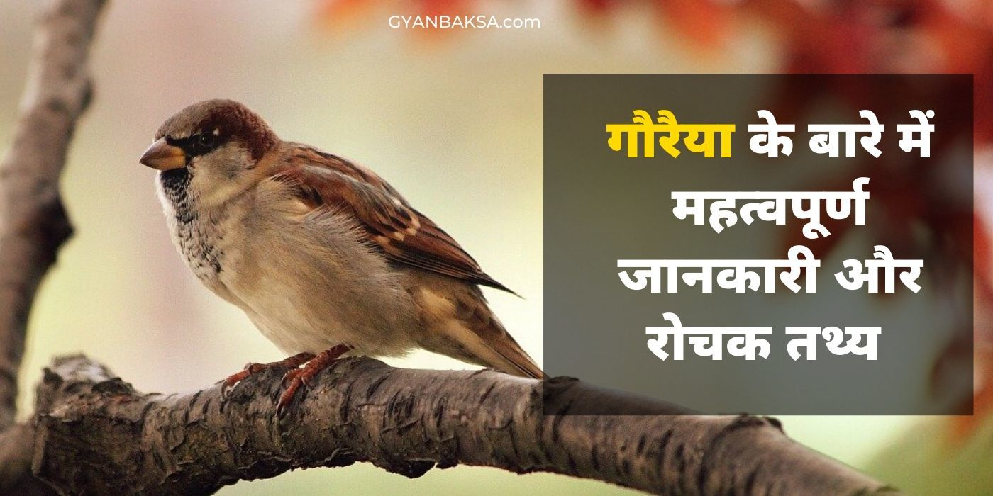 Photo of गौरैया चिड़िया महत्वपूर्ण जानकारी, रोचक तथ्य और विशेषताएं | Sparrow in Hindi