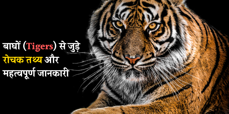 Photo of टाइगर (बाघ) से जुड़े रोचक तथ्य और जानकारी | Tiger Info in Hindi