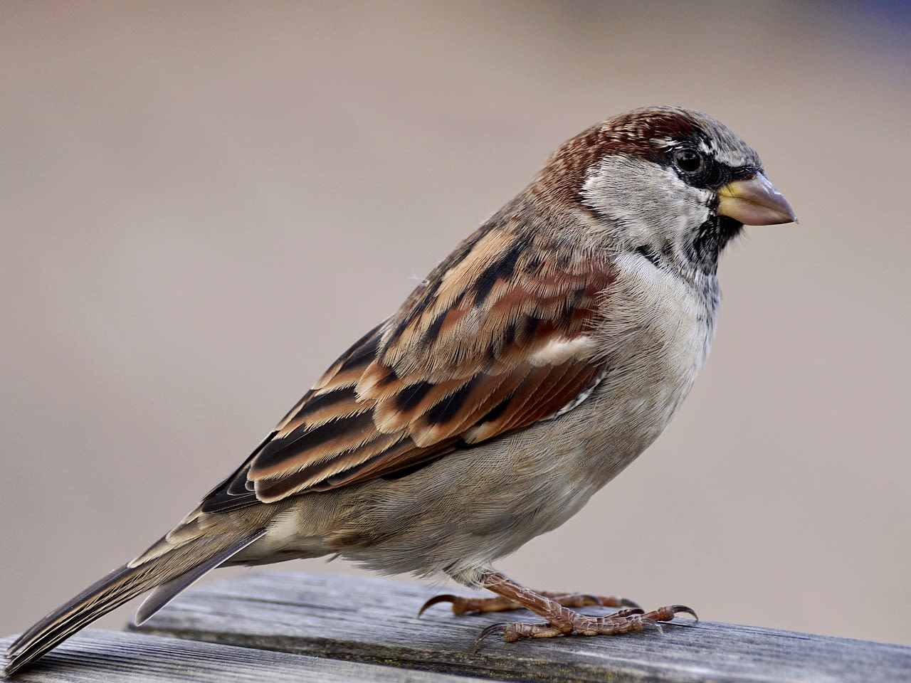 all about sparrow in hindi