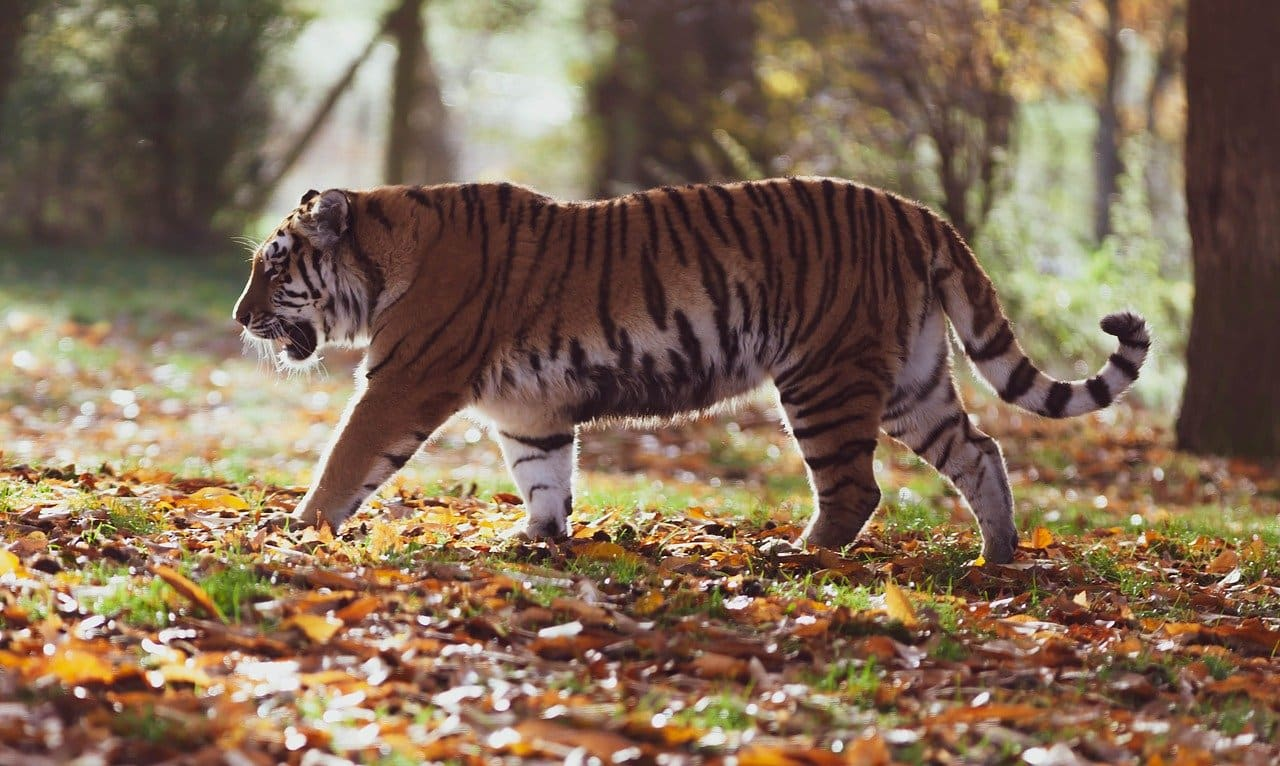 About tiger in hindi