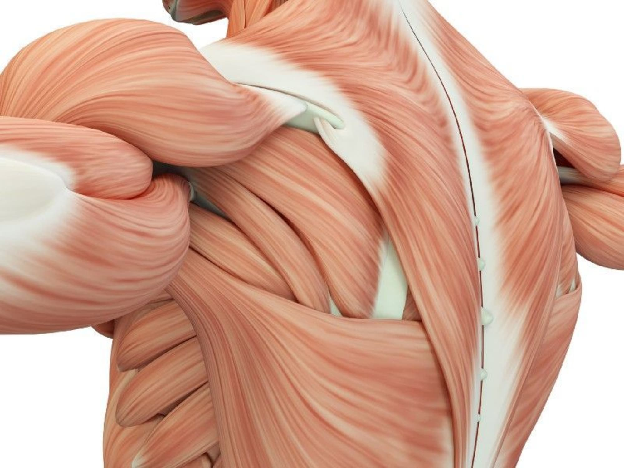 How your different muscle fibre types affect muscle development