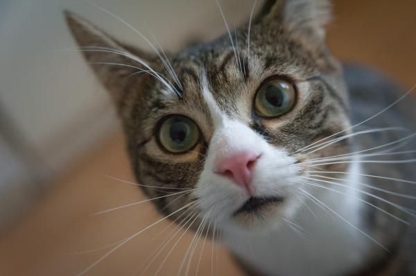 Gato con hipo
