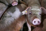 More than 100 pigs in Indonesia die...