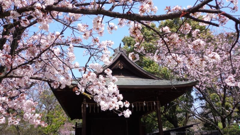 Sumida Park Sakura