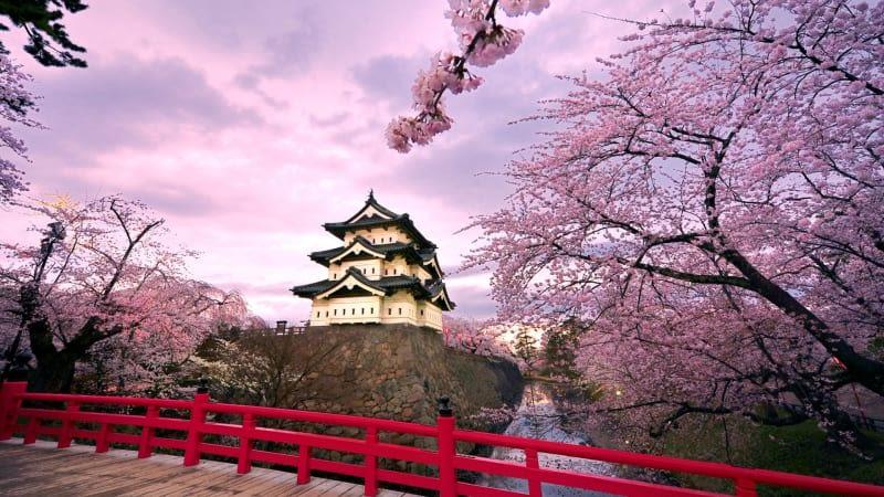sakura in hirosaki castle
