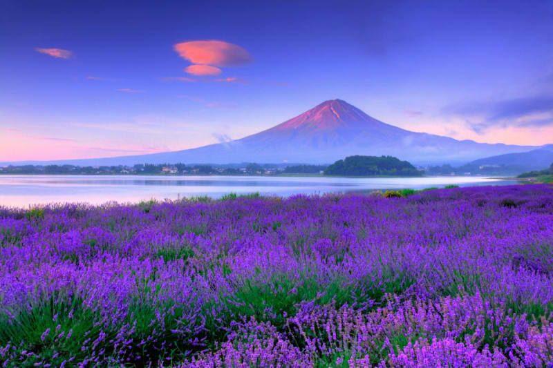 Oishi park with lavender theme