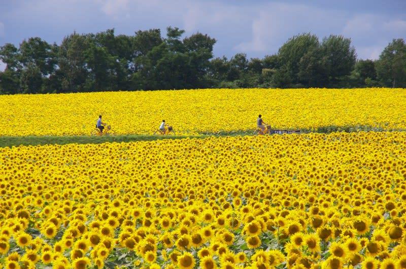 hokuryu_sunflower_field