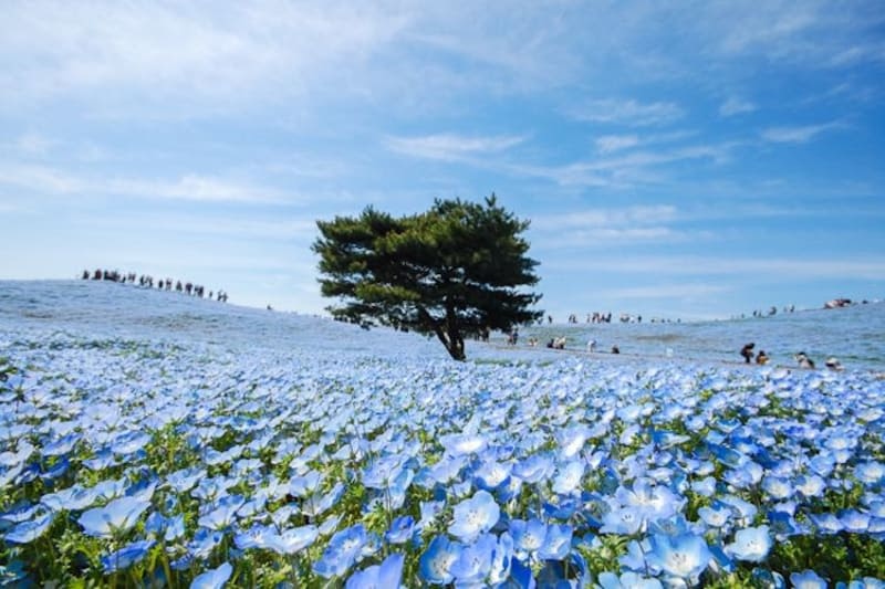 nemophilia hitachi seaside park