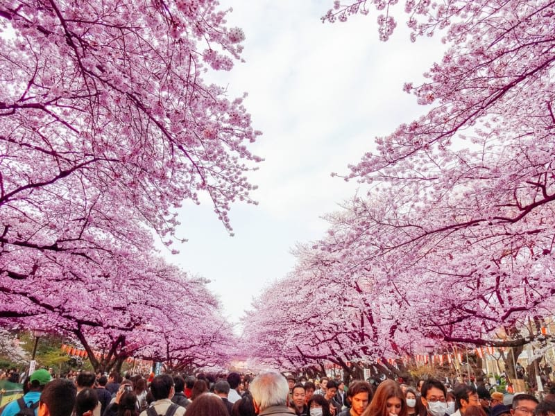 456570_ueno-park-sakura