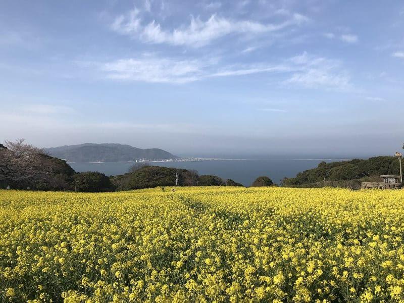 canola-field-at-nokonoshima-island-park