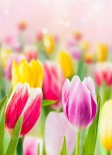 - lente-kaart-tulpen-voorjaar